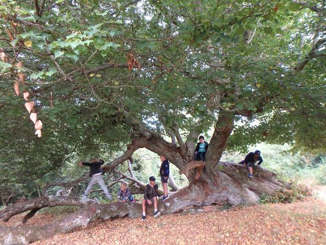 Den liggande linden = det perfekta klätterträdet! Många träd på Hallands Väderö har märkliga former, i och med att man matat betesdjur med dem - Foto: Belinda Graham