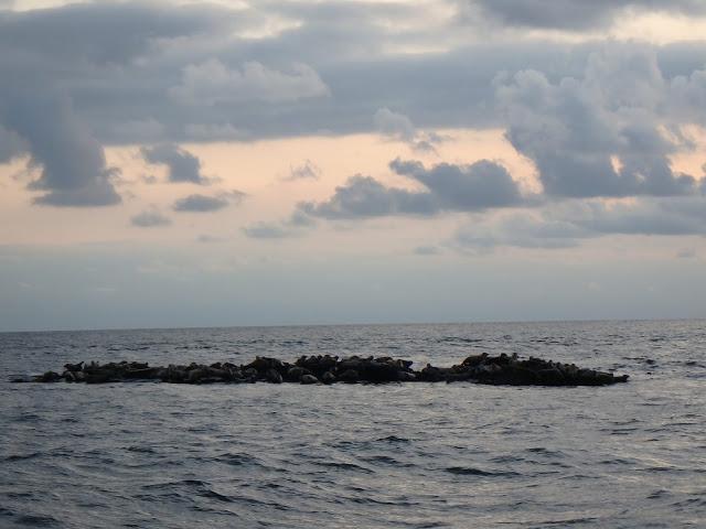 Är det 100-sälar? Eller fler? Några sälar guppar omkring i vattnet och bara huvudena sticker upp - Foto: Belinda Graham