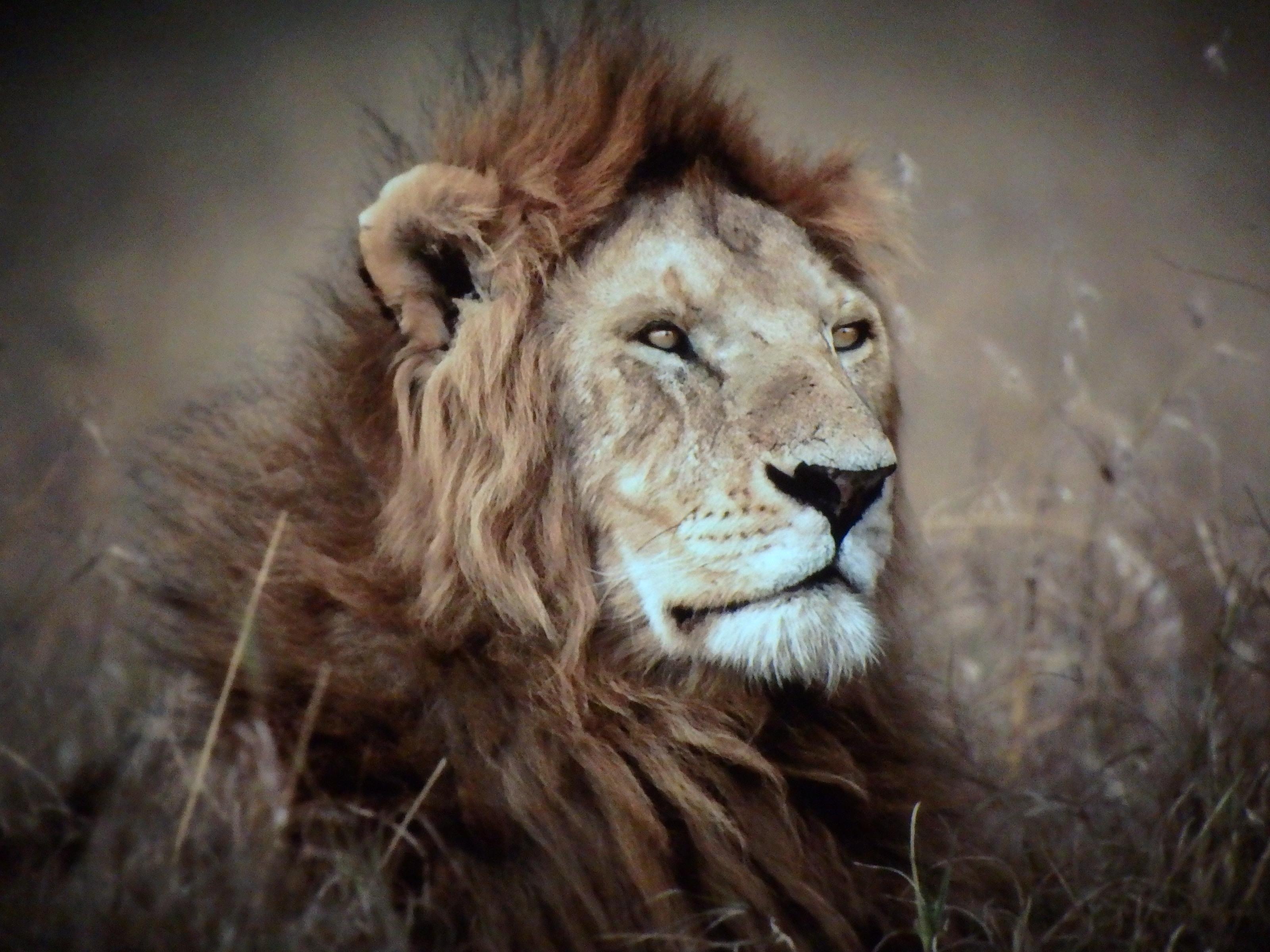 Lejonkungen av Björn Persson - Foto: Belinda Graham
